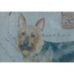 Australian Terrier - Blue & Tan